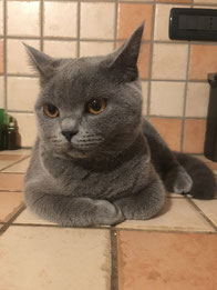 immagine gatto british shorthair femmina