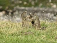 Murmeltiere am Weg hinauf zur Forcelina