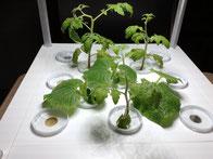 ミニきゅうり、ミニトマトを植えました