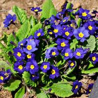 プリムラ(青紫)