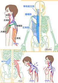 骨格・筋肉 イラスト制作成作