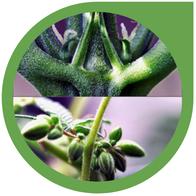 Blüten Geschlecht von Hanf - Cannabis