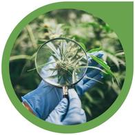 Hanf- Cannabis Grundlagen Allgemein