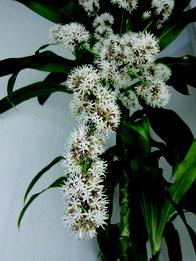 夜間に花開くドラセナマッサンゲアナ。強烈な甘い香りを放つ=4月26日午後7時ごろ、石垣市真栄里の民家