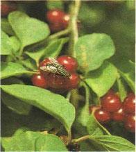 Die Graue Fleischfliege wurde von den Früchten der roten Heckenkirsche angelockt