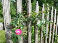 vieux rosier sur vieux portail en bois