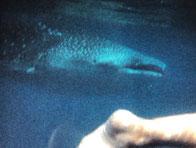 ジンベイザメと泳ぐinセブ島