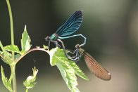 Blaue Prachtlibelle, Paarungsrad