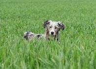 un berger australien dans l'herbe ses oreilles dressées, il écoute par coach canin 16 educateur canin en charente