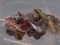 Grasfroschpaar. Foto: Holger Lueg
