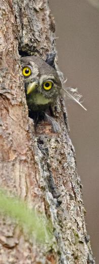 Unsere kleinste Eule, der nur starengroße Sperlingskauz - bisher kaum Bruten im Coburger Land entdeckt, wer aber seinen Ruf kennt, findet ihn auch! (c) Reiner Hermes