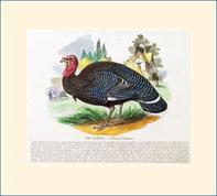 turkey, SPCK