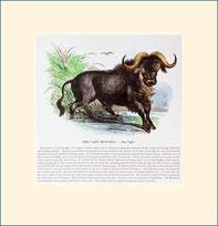 buffalo, SPCK