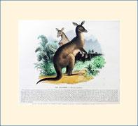 kangaroo, SPCK