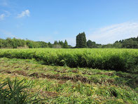 有機しょうが畑、宮崎県有機しょうが