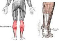 下腿三頭筋(腓腹筋・ヒラメ筋)