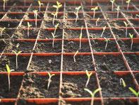 Die gesäten Tomaten sind ausgekommen und recken sich zum Licht