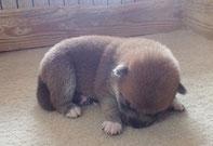 赤柴子犬の画像