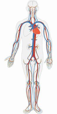 Herz-Kreislaufsystem