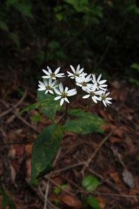 未同定のキク科植物1