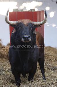 Toro de Cabada Gago n°74