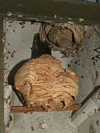 Hornissen und Wespen in einem Nistkasten