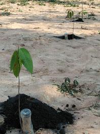 生存率を維持するため、保水力の高い黒いもみ殻を苗木の根元にかけたり、水やりをするなど、生徒たちが定期的に管理作業を続けている