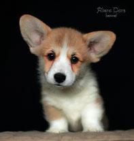 вельш корги пемброк щенки фото