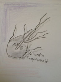 Giardia Trophozoit