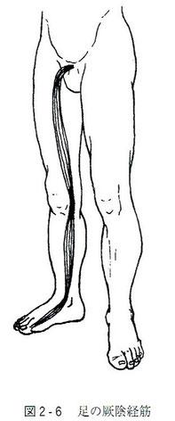 足の厥陰経筋