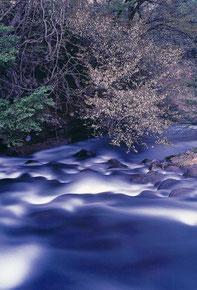 写ッセ さくら部門賞 No.40689 川面に咲く 竹田 直樹(上越市)