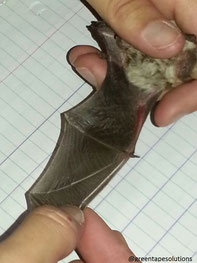 Bat surveys and identification