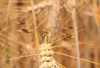 Ein ganz junges Weibchen der Gebänderten Heidelibelle in einem Getreidefeld.