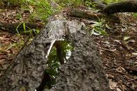 倒木に雨水