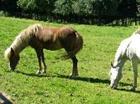 Pferdekrankheiten mit Haaranalyse erforschen