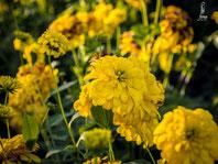 Rudbeckia laciniata- gefüllter Sonnenhut Goldquelle
