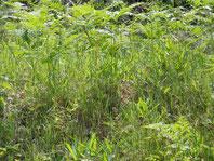 雑草 草刈り