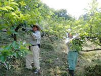 明日香 棚田の柿畑