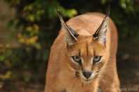 caracal lynx desert fiche animaux felins