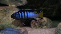 Pseudotropheus elongatus 'mphanga'