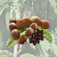 インドなどの亜熱帯および熱帯各地で栽培される。 樹高は20m以上になる常緑高木で、葉は長さ15-20cmの羽状複葉、花は総状花序をなし、5弁で径3cm。黄色に橙色または赤色のすじが入る。果実は長さ7-15cm、幅2cmほどのやや湾曲した肉厚な円筒形のさやで、黄褐色の最外皮は薄くもろい。 黒褐色で卵円形の種子との間隙はペースト状の黒褐色の果肉で満たされる。 この果肉は柔らかく酸味があり、食用とされる