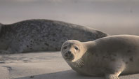 Au Hourdel découvrez avec Picardie Nature les phoques de la Baie de Somme