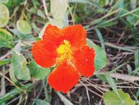 【ナスタチウム】花も葉も食べられます。