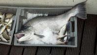 Bodenseeforolle-12 kg schwer -fängt man sehr selten                 (Juni 2014)