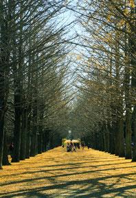 黄金ロード(立川昭和記念公園) (A3ノビ)