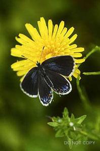開翅するツバメシジミの雌 宮田紀英