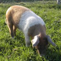 Buntes Bentheimer x Angler Sattelschwein