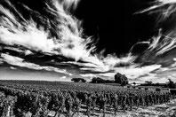 Les vignes de Sauternes