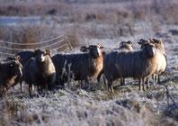 Zierlich gebaut, aber robust und winterhart: Die Weißen Gehörnten Heidschnucken. Foto: Stelzer