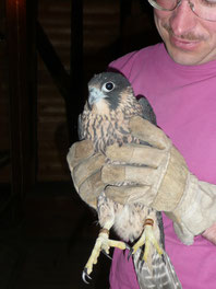 Jungvogel wird zurück in den Turm gebracht / Foto: C. Reimers/NABU